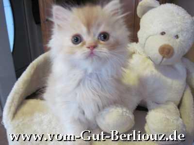 Perserbaby vom Gut Berliouz, Perserkätzchen mit Nase,http:// www.vom-gut-berliouz.de